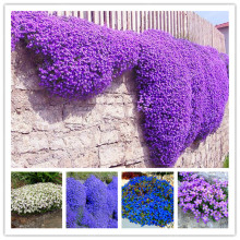 100 Aubrieta Cultorum Seeds For Drought Tolerant Rock Garden Of Villa Park In A Variety Of Places Perennial Ground Cover Plant(China)