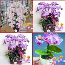 hydroponic orchid seeds,indoor flowers bonsai four seasons,Phalaenopsis Orchids - 40 seeds seeds(China)