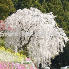 fountain weeping cherry tree seeds,DIY Home Garden Dwarf Tree,Beautiful and elegant - 10pcs/lot