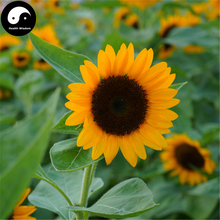 Buy Helianthus annuus Seeds 150pcs Plant Sunflower