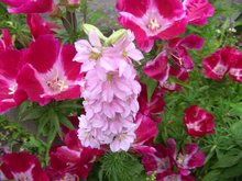 100pcs/ bag rocket consolida, pink larkspur, delphinium pink flower seeds, rare flower tree seeds(China)