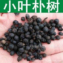 leaflets Hackberry seed  yellow fruit bomb  Park elm tree Tsai real photo 200g / Pack tree seeds