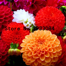 100 Dahlia seeds - Pompon~beautiful gardens, gorgeous flower , mix color , home garden