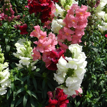 Snapdragon flower seeds potted seeds - all year long flowering shade can be broadcast Household adornment balcony bonsai flowers