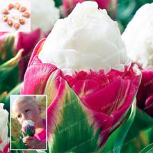 5PCS Rare Tulip Bulbs MIX Colors Available Tulipa Variety Fresh Bulbous Root Flowers Not Tulip Seeds Corms Planted Home Garden
