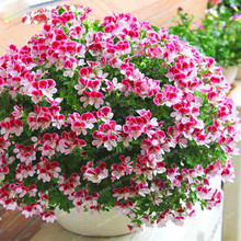 Pink Univalve Geranium Plant Easy Grow Potted Flower Pelargonium for Indoor Rooms 100PCS Seeds * bonsai home Organic
