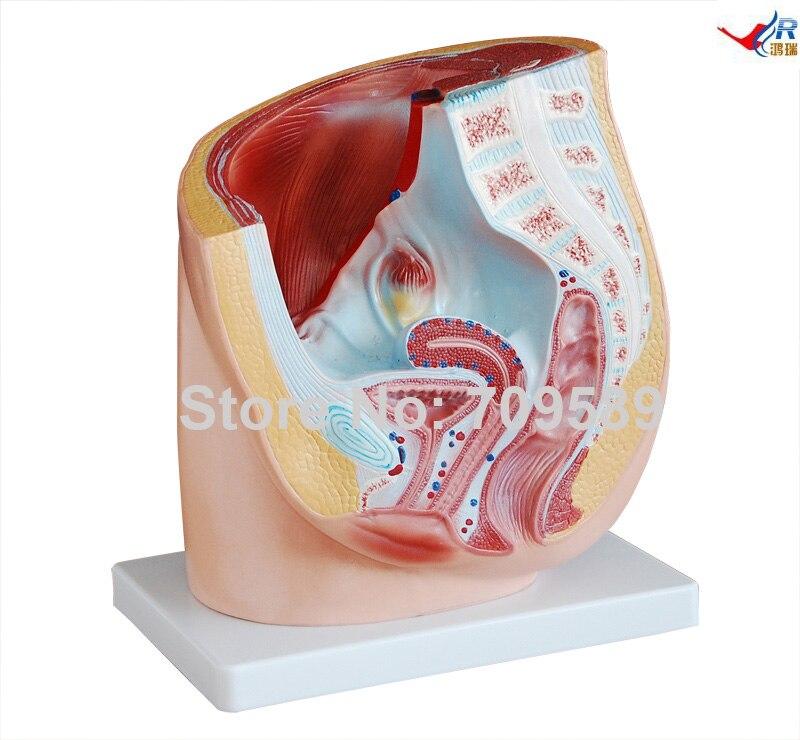 Human Female Pelvis Section (1 part)<br>