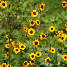 2017 Special Offer New Summer Sementes Seeds Imported Fresh-cut Sanvitalia Procumbens Seed Money To Cosmos Peacock 0.2kg/lot
