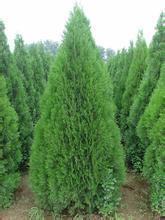 100 PCS/ arborvitae seed with water saving technology cultivation lawn grass green plants in the garden bubble pack Organic