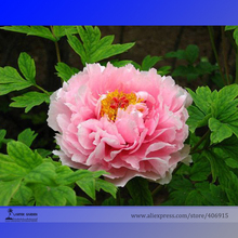 Rare 'Zhao Fen' Pink Fragrant Peony Tree Flower Organic Seeds, Professional Pack, 5 Seeds / Pack, Light up Your Garden E3185