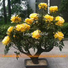 100% True Chinese Peony Flower Plant Seeds, 5 Seeds, Bonsai tree peony for balcony gadren flowers-Land Miracle