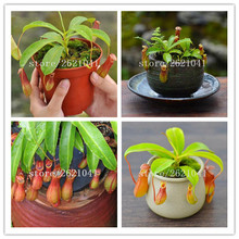 50 seeds/pack Cheap Bonsai Nepenthes Seeds Eating Mosquito Varieties Of Seed Plants Garden Decoration Bonsai Flower Seeds