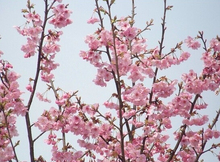 pack about 10 pieces Pink Cherry Blossoms tree Seeds Sakura Seeds,Colour cherry Free Shipping