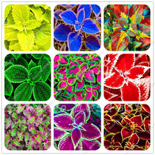 200 Pcs Colored Grass Seeds, Perennial Flower Seeds Potted Bonsai Plant Coleus Blumei Flower Seeds Coleus Seeds For Home Graden(China)