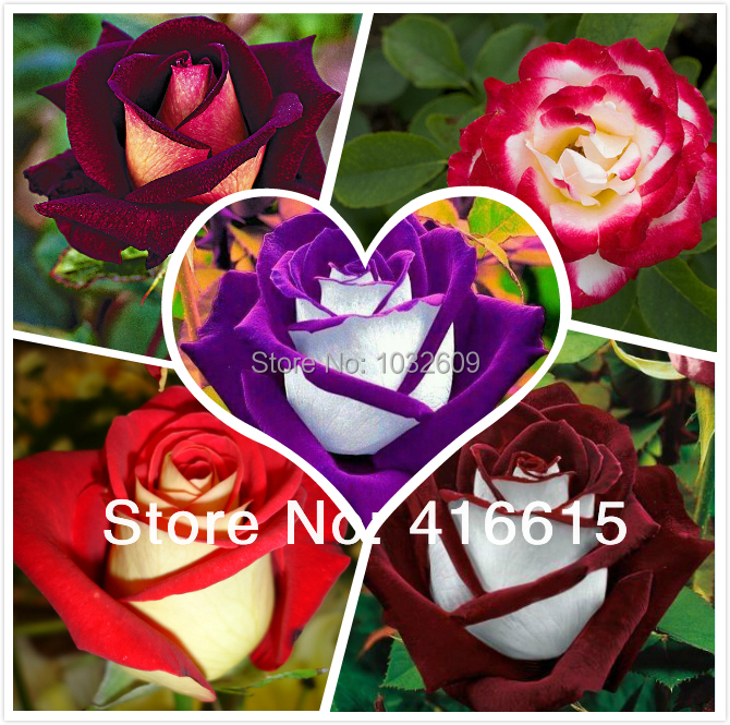 Bonsai flower seeds 200pcs Rainbow Rose Blue Pink White Yellow Red Green Purple Black Roses sementes de rosa(China)