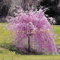 20 pcs fountain weeping cherry tree,DIY Home Garden Dwarf Tree, ornamental-plant bonsai sakura tree seeds for home(China)
