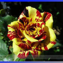 Heirloom Gannan Yellow Red Rose Shrub Flower Seeds, Professional Pack, 20 Seeds / Pack, Strong Fragrant Flower #NF902