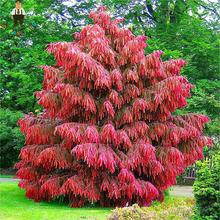 Rare Japan Red Cedar Seeds Home Jardin Perennial Woody Plants Bonsai Seeds Potted China Garden Fir Tree Semillas 50 Pcs / Pack(China)