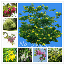 Free Shipping 3seeds/pack of Bonsai Ash Tree Seeds Big Plants Home Garden Flower Seeds(China)