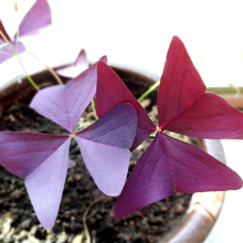 2 Seeds, Red Woodsorrel, Oxalis triangularis China flower grass
