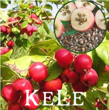 Loss Promotion!!! 30 seeds/bag Forest tree fruit plump apple seeds apple tree seed particles Free Shipping(China)