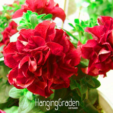 Time-Limit!!50 PCS/Pack petunia petals Seeds Red petunia Garden Home Bonsai Balcony Flower Petunia Flower Seeds,#RCILEA