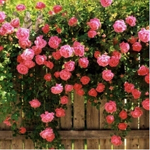 200 seeds/pack Rose flower seedling seed rose plants balcony bonsai plants flower seeds rose seeds