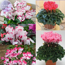BELLFARM Cyclamen Perennial Flower Seeds, 3 seeds, professional pack, mixed red pink purple colorful heirloom bonsai flowers