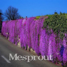 MIX 100PCS Aubrieta Cultorum Seeds for Drought-Tolerant Rock garden of Villa Park in a variety of places Aubrieta Free shipping(China)