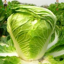 100pcs Vegetable Seeds Chinese Cabbage Seeds Green Bok Choy Nutritious Non Gmo Food Pekinensis Plants For Garden 2017 Sementes