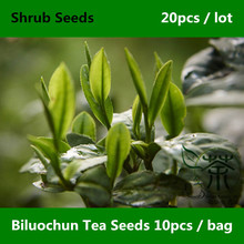 Green Snail Spring Biluochun Tea Seeds 20pcs, Chinese Dong Ting Pi Lo Chun Shrub Seeds, Widely Cultivated Bi Luo Chun Tea Seeds(China)
