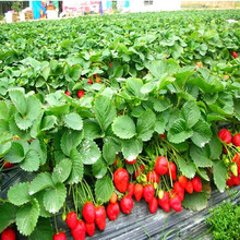 100 Mountaineering Strawberry Seed Home Garden Non-gmo Four Seasons Tree Big Delicious Fruit And Vegetable Seeds Diy Plant Sale