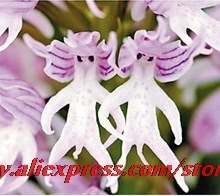 Italian man orchid 100PCS Exotic plants Orchis italica seeds Pyramid monkey orchid Home Garden Bonsai Balcony DIY Free shipping