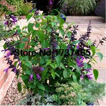 50pcs/lot Salvia splendens purple ,red,white seeds beautiful flower bonsai plant home garden free Shipping