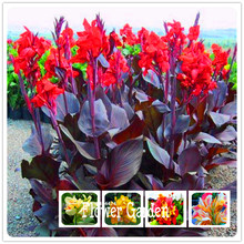 Big Promotion! 100 Pieces/Pack Beautiful flower Small canna lily seeds, Garden plant, flower seeds(China)