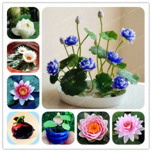 1pcs/pack Bowl Lotus Seed Hydroponic Plants Aquatic Plants Flower Seeds Water Lily Seeds interesting Bonsai Garden