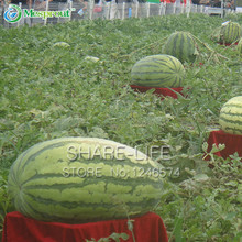 50 Pieces Giant Watermelon Seeds Fruit Seeds Planting Watermelon Seeds NON-GMO Edible Fruits