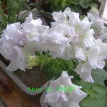 White Petunia Petals Seeds Garden Home Bonsai Balcony Flower Petunia Flower Seeds 300 Pieces