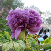 Strong Fragrant Purple Peony Tree 'Queen' Flower Seeds, Professional Pack, 5 Seeds / Pack, Luoyang Chinese Peony #NF746