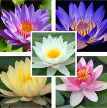Flower seeds Bonsai seeds The lotus seed Water lily Mix Nymphaeaceae Fresh seeds Family garden free shipping 10pcs Q098