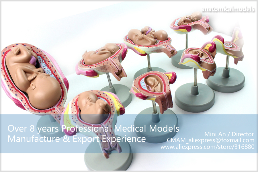 CMAM-ANATOMY12 Embryonic development model 7