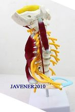 1:1 Human Anatomical Cervical Vertebra Medical Model Muscles Nerves +Stand
