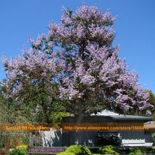 Worlds Fastest Growing 100 seeds/Pack, Paulownia Princess Tree Blue Flowers Yard