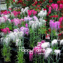 100 Pieces/Pack Time-Limit!!Dianthus Spooky Mix Flower Seeds, easy to grow,potted flowers for home garden Flower Seeds(China)