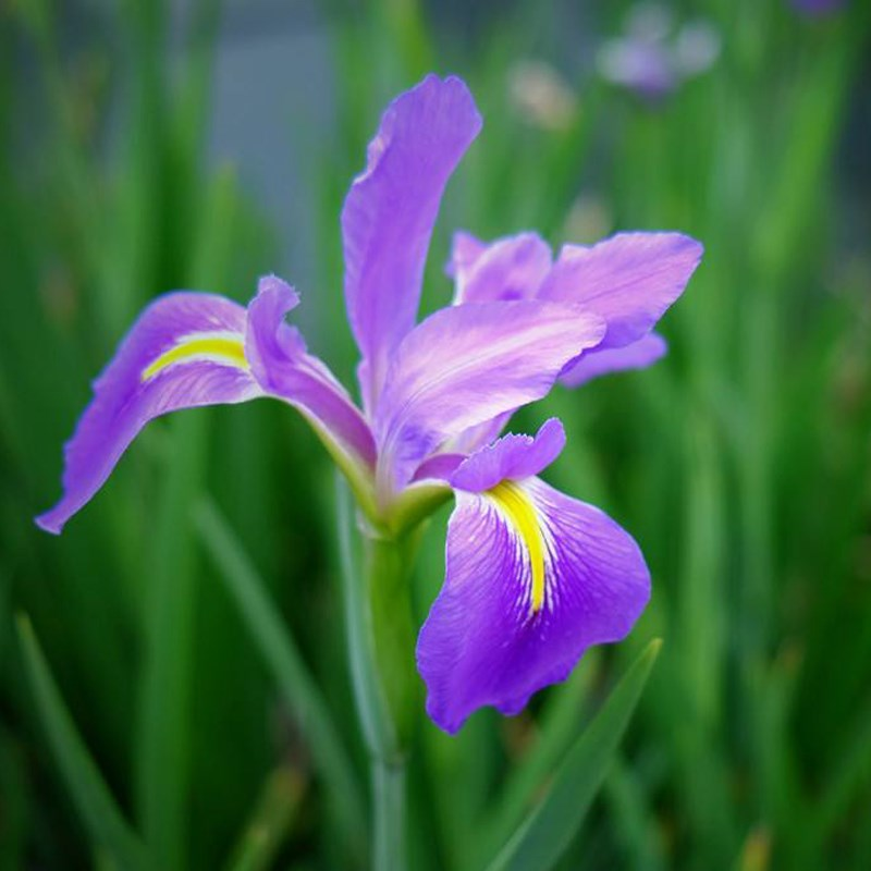 Purple Iris Seeds 20pcs/Bag Bearded Iris Seeds Rare Bonsai Iris Phalaenopsis Orchid Flower Seeds Nature Plants For Home Garden(China)