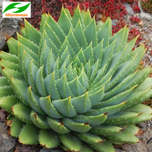 10PCS CAPE ALOE SEEDS (Aloe ferox) Africa Red Flowering Succulent Medicinal(China)