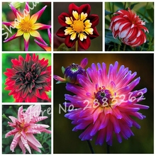 10 pcs/bag Dahlia Flower Dahlia Seeds,(not dahlia bulbs)Bonsai Flower Seeds Gorgeous Flower Balcony Potted Plant for Home Garden