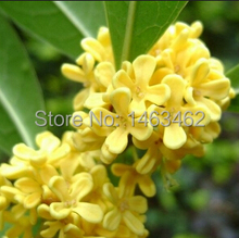 10pcs / bag Sweet Tea Flower seed courtyard osmanthus flower tree seeds free shipping