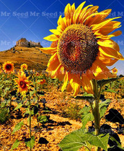20pcs Giant sunflower seeds big flower seeds black sunflower russian sunflower plants for Courtyard garden(China)