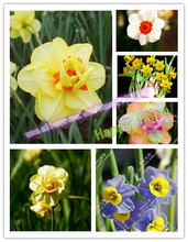 Daffodi, Daffodil seeds,Narcissus seeds, Clean air ,Home desktop potted plants - 100 pcs Narcissus tazetta seeds(China)